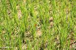 Red dragonfly in rice field (Toraja Land (Torajaland), Sulawesi)