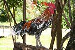 Asian gamecock (Toraja Land (Torajaland), Sulawesi)
