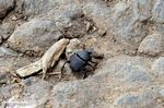 Black dung beetle with orange antennae (Toraja Land (Torajaland), Sulawesi)