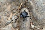 Black dung beetle with orange antennae (Toraja Land (Torajaland), Sulawesi) -- sulawesi7294