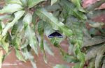 Black butterfly with blue-purple markings on its wings (Sulawesi - Celebes) -- sulawesi7815
