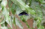 Black butterfly with blue-purple markings on its wings (Sulawesi - Celebes) -- sulawesi7816
