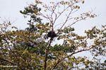 Fish eagle in treetop