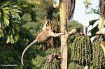 Crab-eating monkey (Macaca fascicularis) eating fruit of the 'Tukas' palm (Caryota milis)