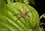 Large Malaysian jungle spider