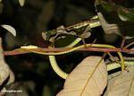 Gmelin's Bronzeback snake (Dendrelaphis pictus)