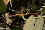 Painted Bronzeback snake (Dendrelaphis pictus)