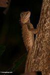 Mountain Horned Dragon lizard (Acanthosaurus armata)