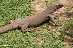 Varanus salvator monitor lizard