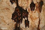 Bats hanging from the ceiling of a Malaysian limestone cave