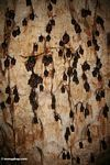 Colony of bats hanging from the ceiling of a limestone cave in Malaysia