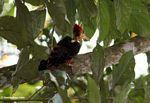 Orange-backed Woodpecker (Reinwardtipicus validus)