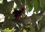 Orange-backed Woodpecker (Reinwardtipicus validus) eating a worm/grub/insect larvae
