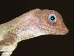 Close up on the lizard with blue eyes found in the Malaysian rainforest