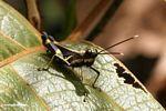 Black grasshopper with yellow stripes -- malaysia0970a