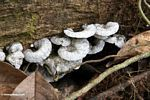 White fungi covered with tiny black insects