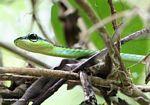 Tree snake in Malaysia