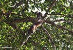 Red forest squirrel -- malaysia1048