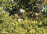 Pied hornbill at the top of a canopy tree