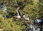 Pied hornbill in flight