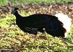 Male Great Argus Pheasant (Argusianus argus) -- malaysia1092