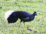 Male Great Argus Pheasant
