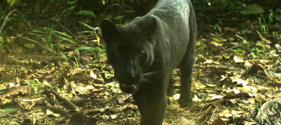 Researchers trick black leopards into showing their spots