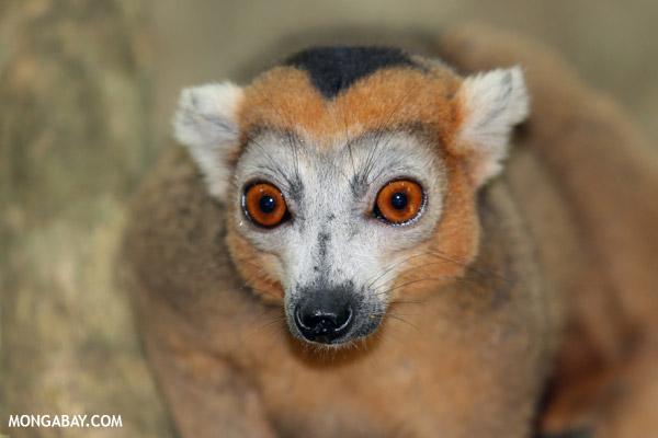 Crowned lemur in Madagascar.