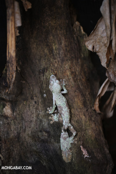 Uroplatus gecko in Madagascar.