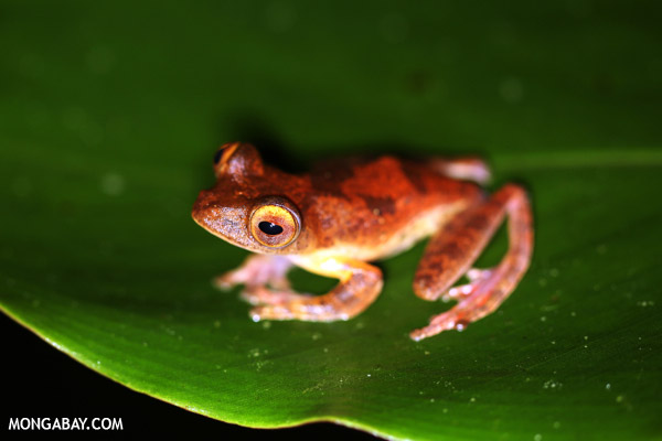 Treefrog in the Borneo rainforest.