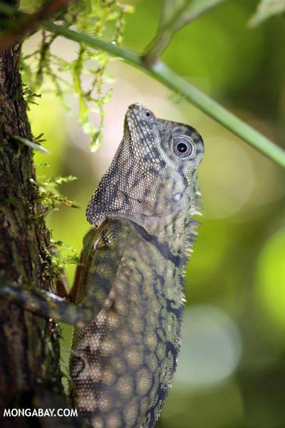 Forest dragon in Borneo.