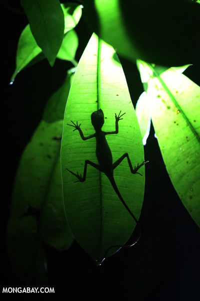 Backlit forest dragon in Borneo.
