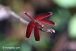 Red grasshawk dragonfly on Peucang Island, Indonesia (Mar 2012). Photo by Rhett A. Butler