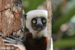 Coquerrel's sifaka lemur in Ankarafantsika (Oct 2012). Photo by Rhett A. Butler