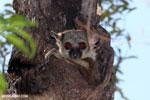 Lepilemur in Ankarafantsika National Park, Madagascar (Oct 2012). Photo by Rhett A. Butler