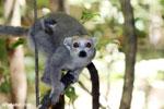 Female crowned lemur with baby in Ankarana, Madagascar (Oct 2012). Photo by Rhett A. Butler