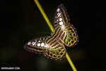 Rainforest butterfly in Borneo (Nov 2012). Photo by Rhett A. Butler