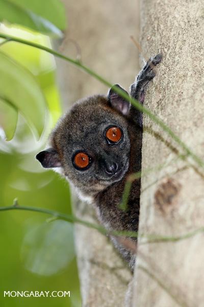 Ankarana Sportive Lemur (Lepilemur ankaranensis) in Ankarana, Madagascar..