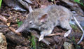 A rodent unlike any other: Paucidentomys vermidax. Photo from: Esselstyn et al.