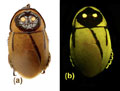 The possibly extinct Lucihormetica luckae, which oddly resembles a Jawa from Star Wars. Photo courtesy of Vršanský et al.