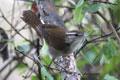 The Antioquia wren (Thryophilus sernai). Photo by Carlos Esteban Lara.