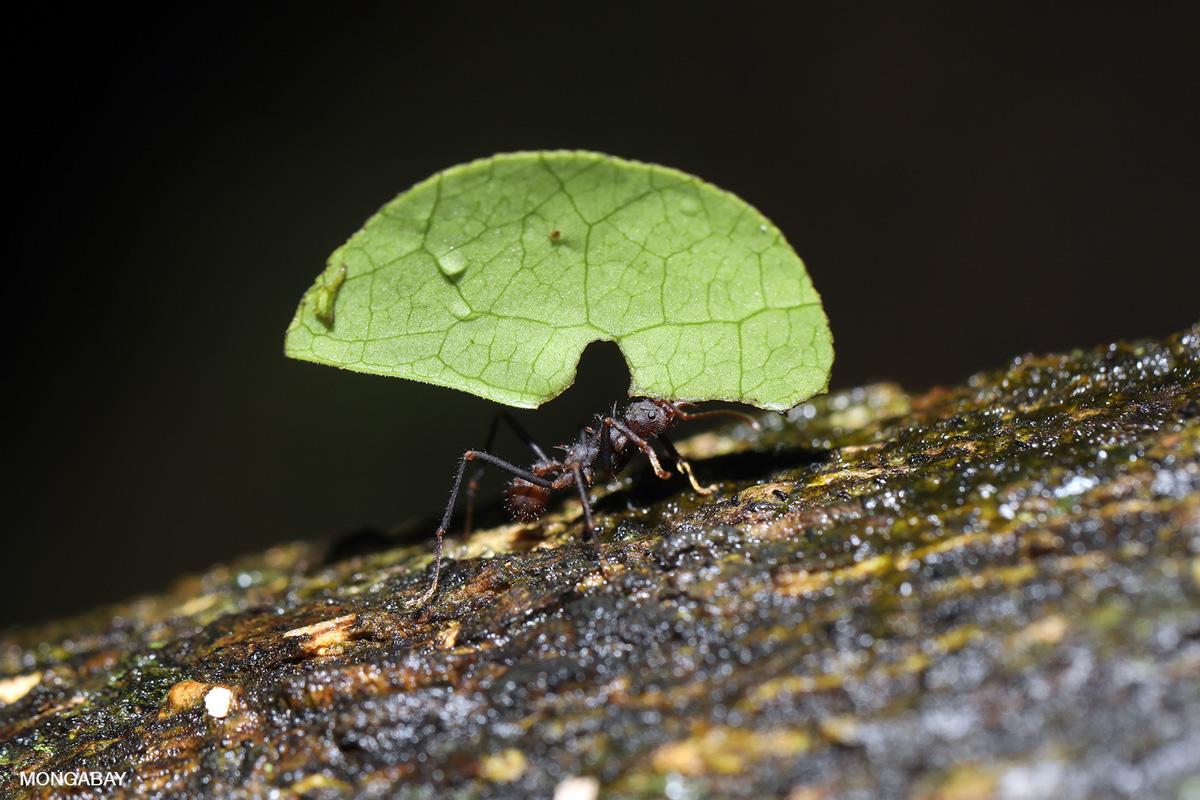 Leaf-cutter ant. Photo by Rhett A. Butler.
