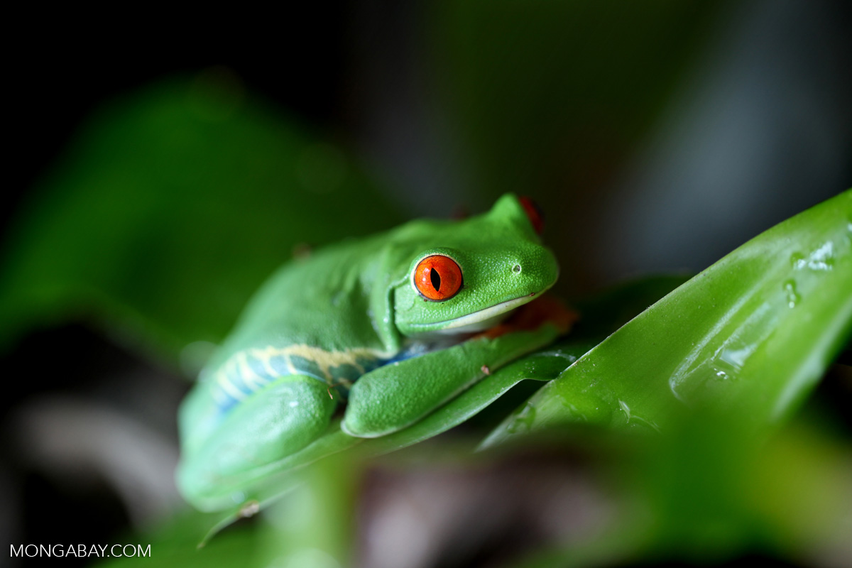 Red-eyed tree frog (photo)