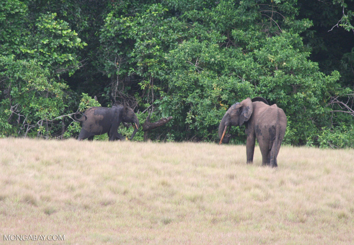 Adult forest elephant with calf in Loango National Park, Gabon
