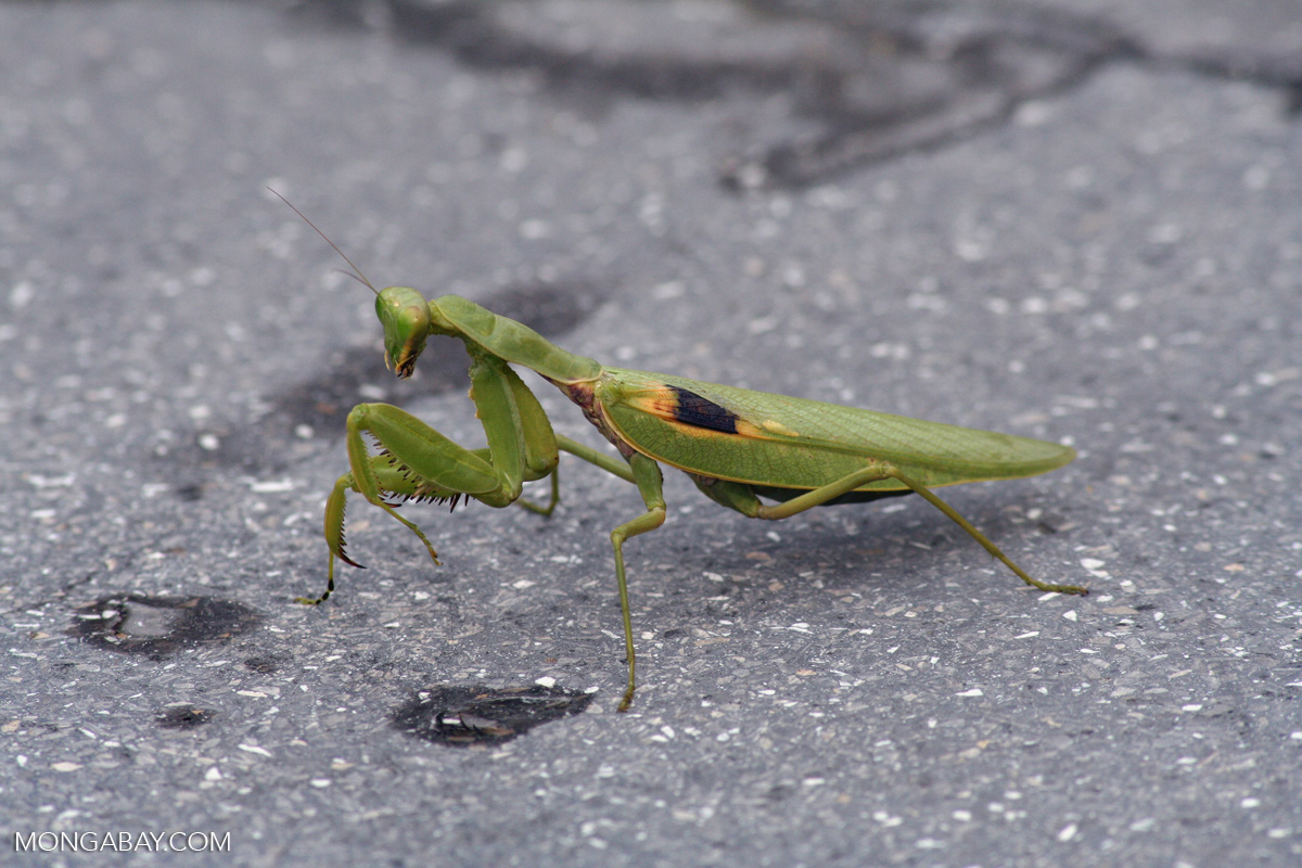 Green Praying Mantis With Yellow And Black Mark On Its Wing Java