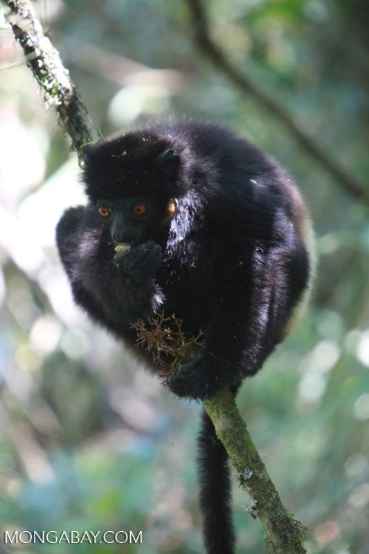 Un propithèque de Milne-Edwards (Propithecus edwardsi), une espèce de lémurien endémique à Madagascar qui est classée en danger d'extinction et protégée de la chasse par un fady. Image de Rhett A. Butler.