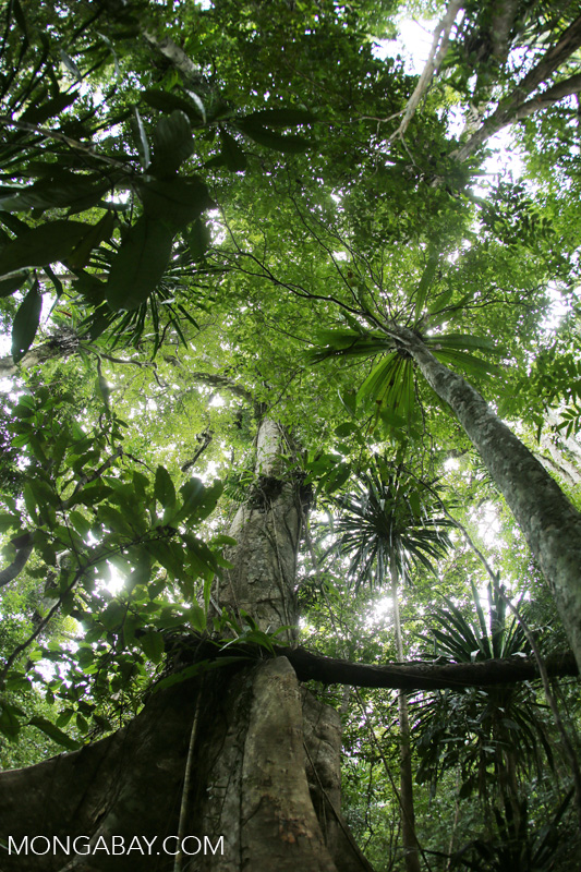 Rainforests in Madagascar are threatened by Chinese demand for rosewood. Photo by Rhett A. Butler