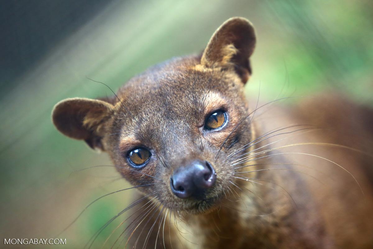 Un fossa (Cryptoprocta ferox), une espèce carnivore endémique à Madagascar et protégée de la chasse dans certaines régions par un fady associé à la croyance que ces animaux consomment le corps des ancêtres enterrés dans les forêts. Image de Rhett A. Butler.