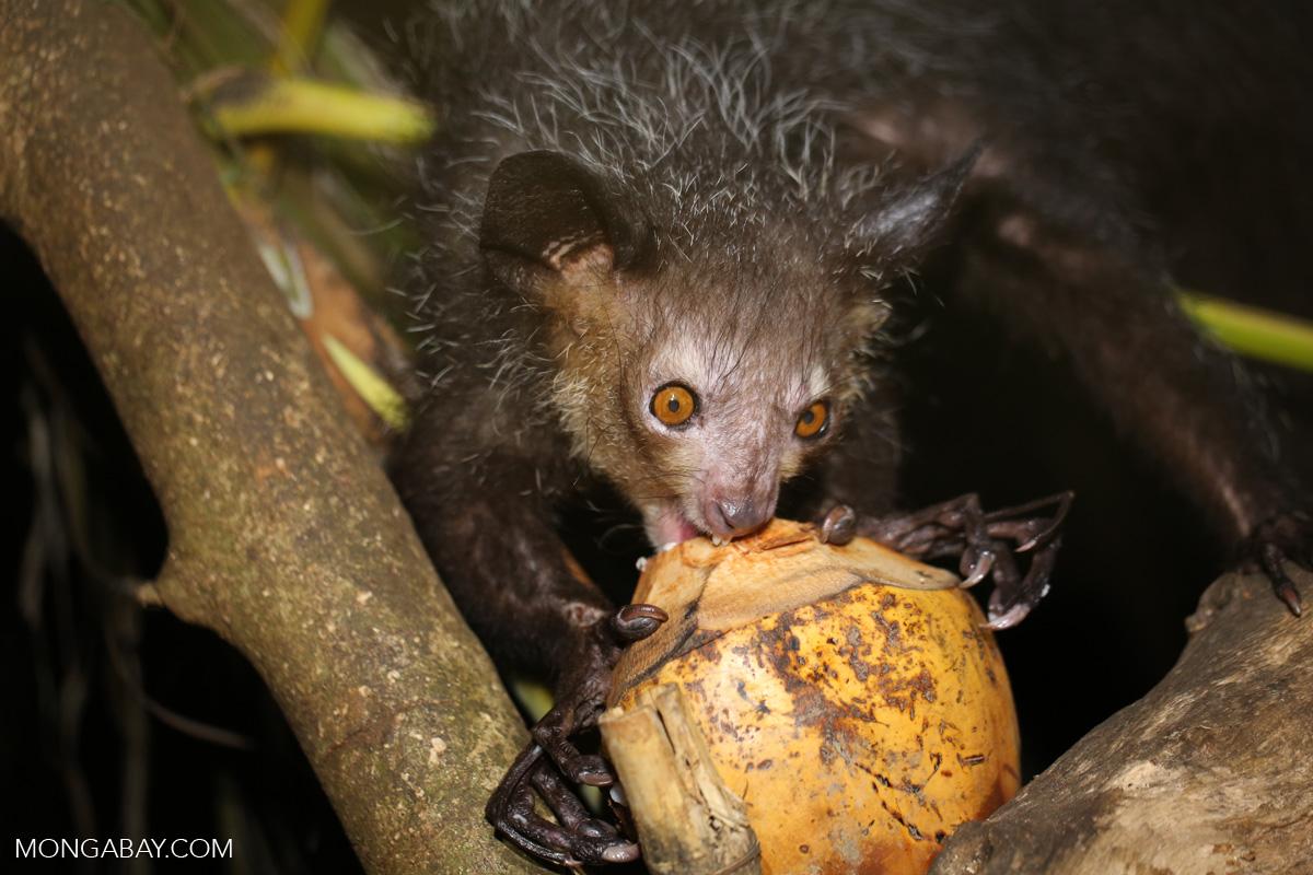 Un aye-aye (Daubentonia madagascariensis), une espèce de lémurien qui est classée en danger d'extinction mais chassée car elle est considérée comme porteur de mauvais esprits. Image de Rhett A. Butler.