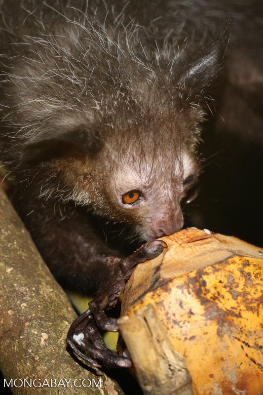 Aye-aye feeding on a coconut [madagascar_tamatave_0018]